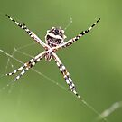 Spider by Sheryl Hopkins
