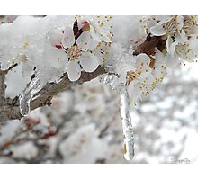 Blossoms in Snow Photographic Print