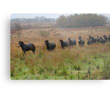 Semi wild Exmoor ponies Metal Print
