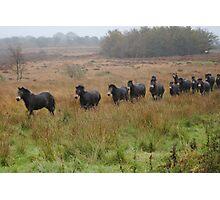 Semi wild Exmoor ponies Photographic Print