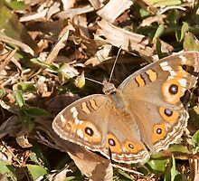 Meadow Argus Butterfly by NaturalCultural
