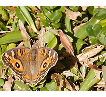 Meadow Argus Butterfly - Patterns Photographic Print