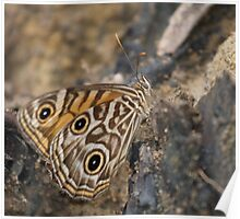 Ringed Xenica Butterfly - Patterns Poster