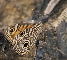 Ringed Xenica Butterfly - Patterns Photographic Print