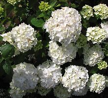 Snowballs in Summer - Beautiful White Hydrangea Blossoms by kathrynsgallery