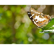 Tailed Emporer Butterfly Photographic Print