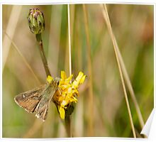 Two Brand Skipper Butterfly Poster