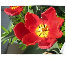 Fire in her Heart - Flamboyant Red and Yellow Tulip Poster
