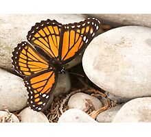 Viceroy Butterfly Photographic Print