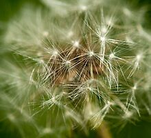 Macro Dandelion  by Gary Chapple
