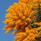 Nuytsia Bloom by kalaryder