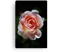 Single Romantic Rose  Canvas Print