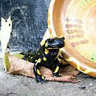 A Spotted Salamander Spotted At Our House In Romania by Dennis Melling