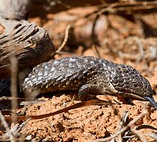Shingleback Lizard by Will Hore-Lacy