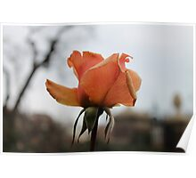 Autumn Rose Poster