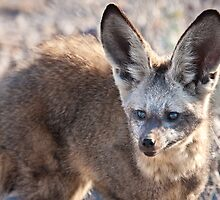 Bat-eared fox faceshot by Owed To Nature