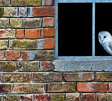 Barn Owl (Tyto alba) by Mark Kenwood