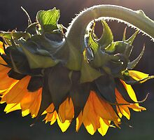 Glowing Sunflower. by Terence Davis