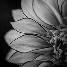 Flowerscapes - BW Dahlia Polka by lesslinear
