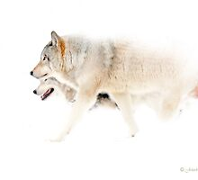 Le chant du Loup - Hunting in the mist by John44