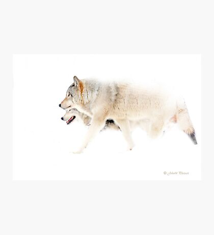 Le chant du Loup - Hunting in the mist Photographic Print