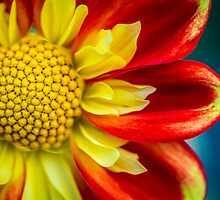 Flowerscapes - Dahlia Detail by lesslinear