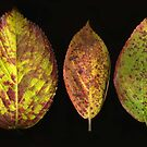 Trio of Fall Hydrangea Leaves by Barbara Wyeth