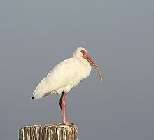 Adult White Ibis by Rose Cavaco