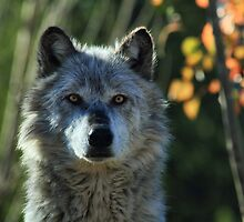 Yellowstone Timber Wolf by Ann  Van Breemen