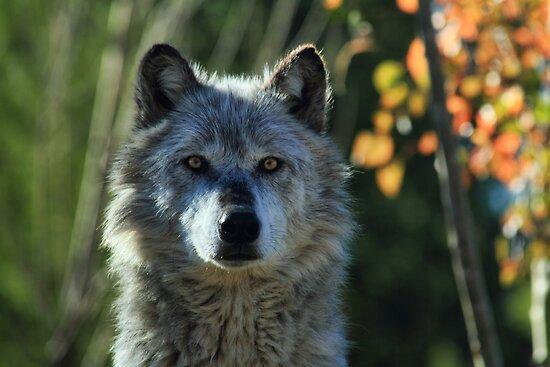 Yellowstone Timber Wolf by Ann  Van Breemen