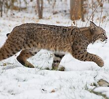 Bobcat in snow by Eivor Kuchta
