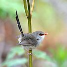 Female Variegated Fairywren taken at Cattai Wetlands NSW. by Alwyn Simple