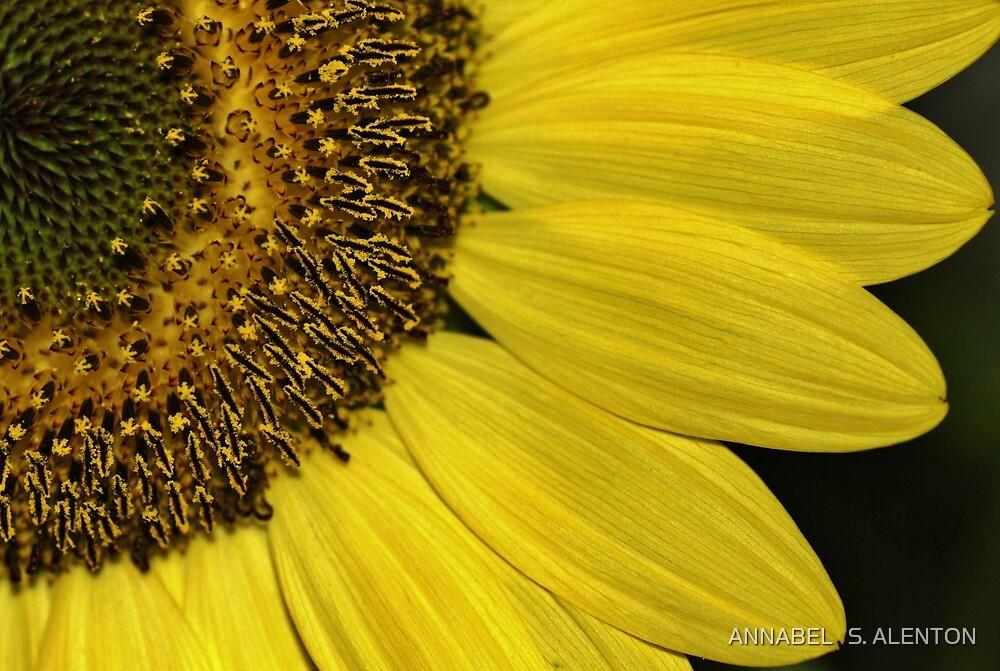 sunflower close up by ANNABEL   S. ALENTON