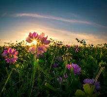 Sunset Through The Purple Vetch by NFirebaugh
