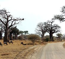 Travels through the Baobab Trees in Tarangire by Hannah Nicholas