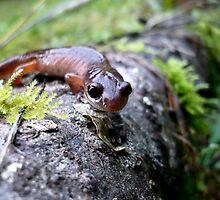Oregon Ensatina Salamander by Jess Meacham