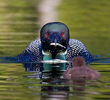 Take-out finally arrives - Common Loon - Buck Lake, Ontario by Jim Cumming