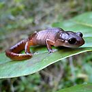 Oregon Ensatina Salamander 3 by Jess Meacham