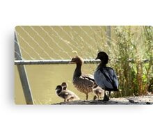 Wood duck family outing Canvas Print