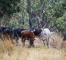 Scrub Cattle II by Laura Sykes