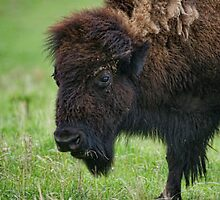 Buffalo by adastraimages