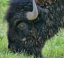 Buffalo Grazing by adastraimages