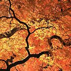 Japanese Maples November Light by Lisa Cook