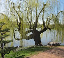 Willow Tree in Spring by Kathie  Chicoine