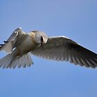Black Shouldered Kite. by TootgarookSwamp
