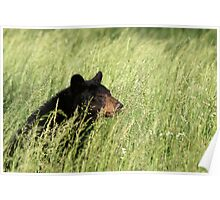 Black Bear @ Great Smoky Mountains National Park Poster