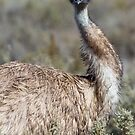 Emu stare by Will Hore-Lacy