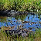gator country by cliffordc1