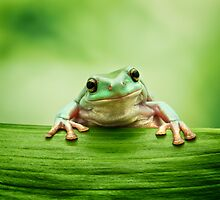 White's Tree Frog (Litoria caerulea) by Mark Kenwood