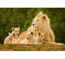 Pride (of White Lion) Panthera leo krugeri Photographic Print